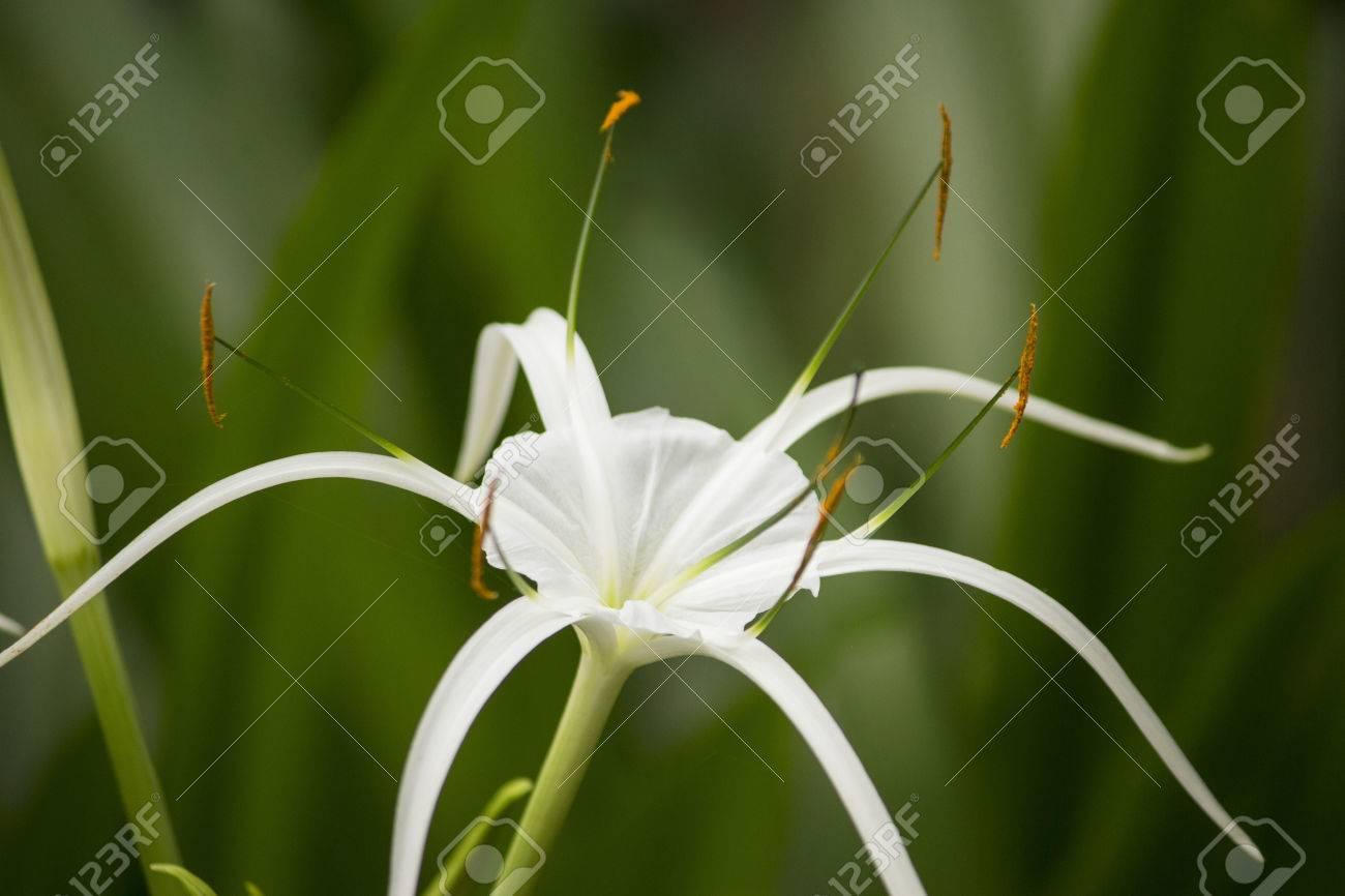 White lily like flower has long skinny petals spider lily stock stock photo white lily like flower has long skinny petals spider lily izmirmasajfo