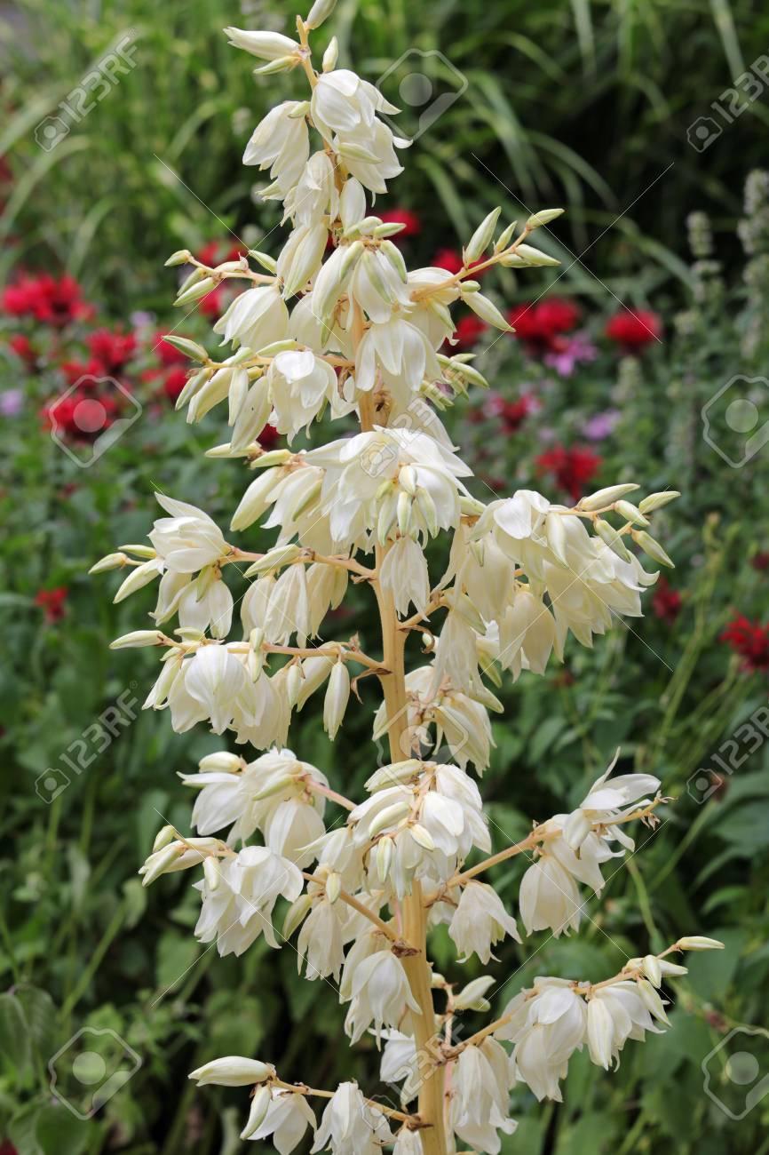 Un Type De Fleur Yucca Grandit Avec Des Fleurs Blanches Pales