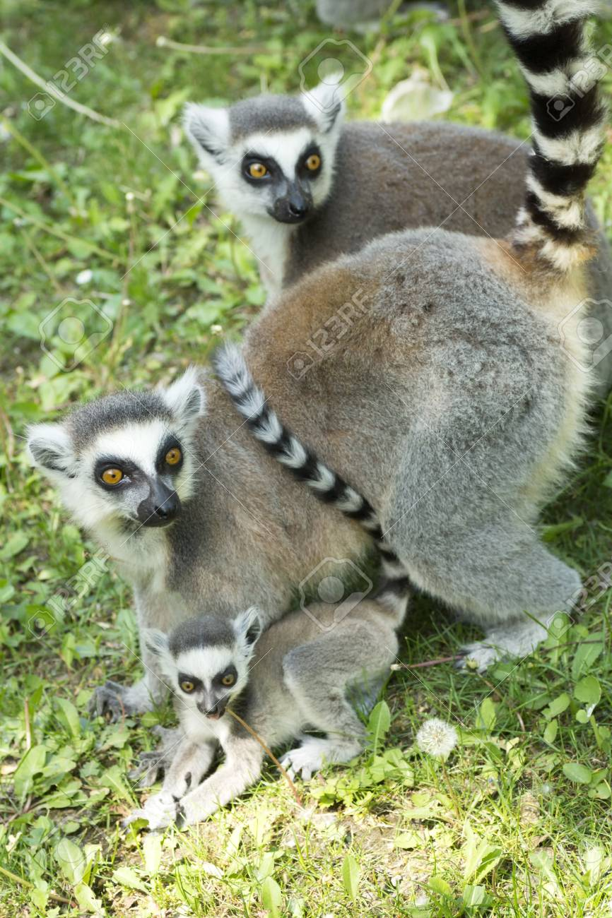 summer photo of the lemur family in the Budapest Zoo Stock Photo - 16941063