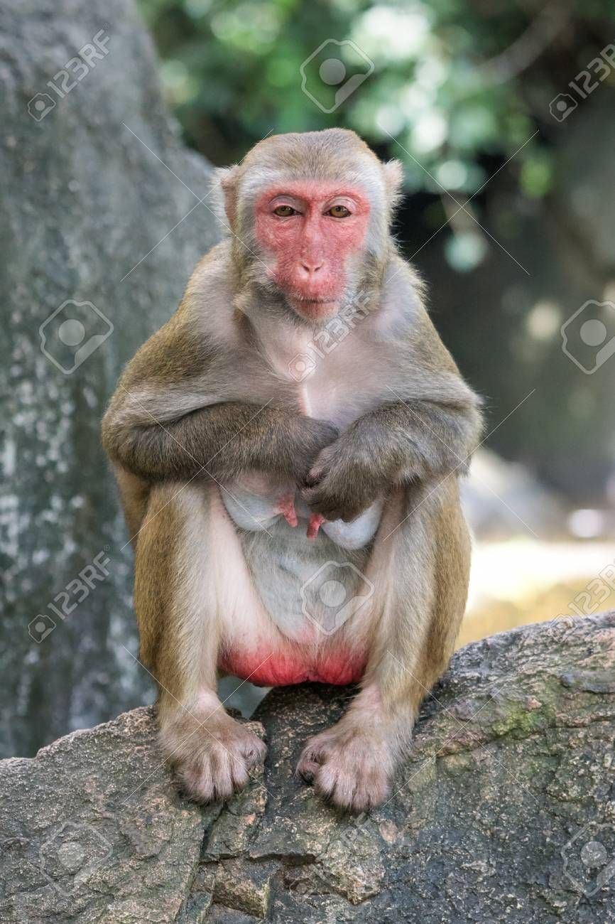 Tableau gorille couleur 6 91778794 photo de l ancien macaque rh%C3%A9sus