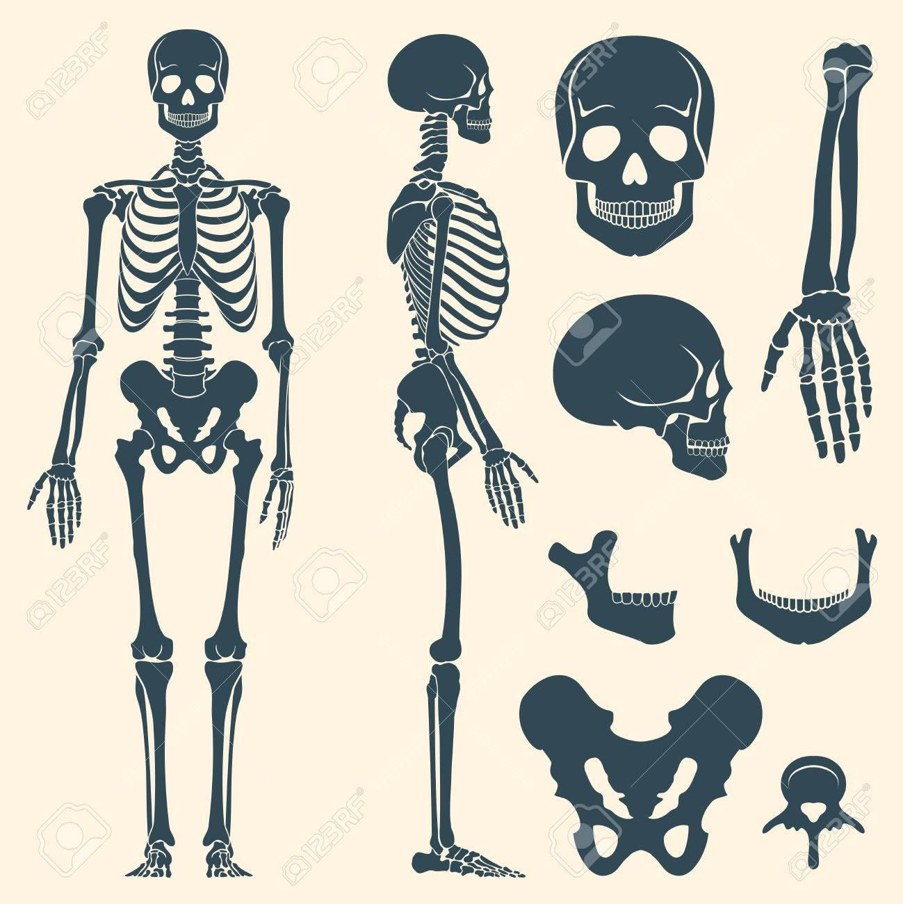 Los Huesos Humanos Esqueleto Del Vector Silueta. Conjunto De Los ...