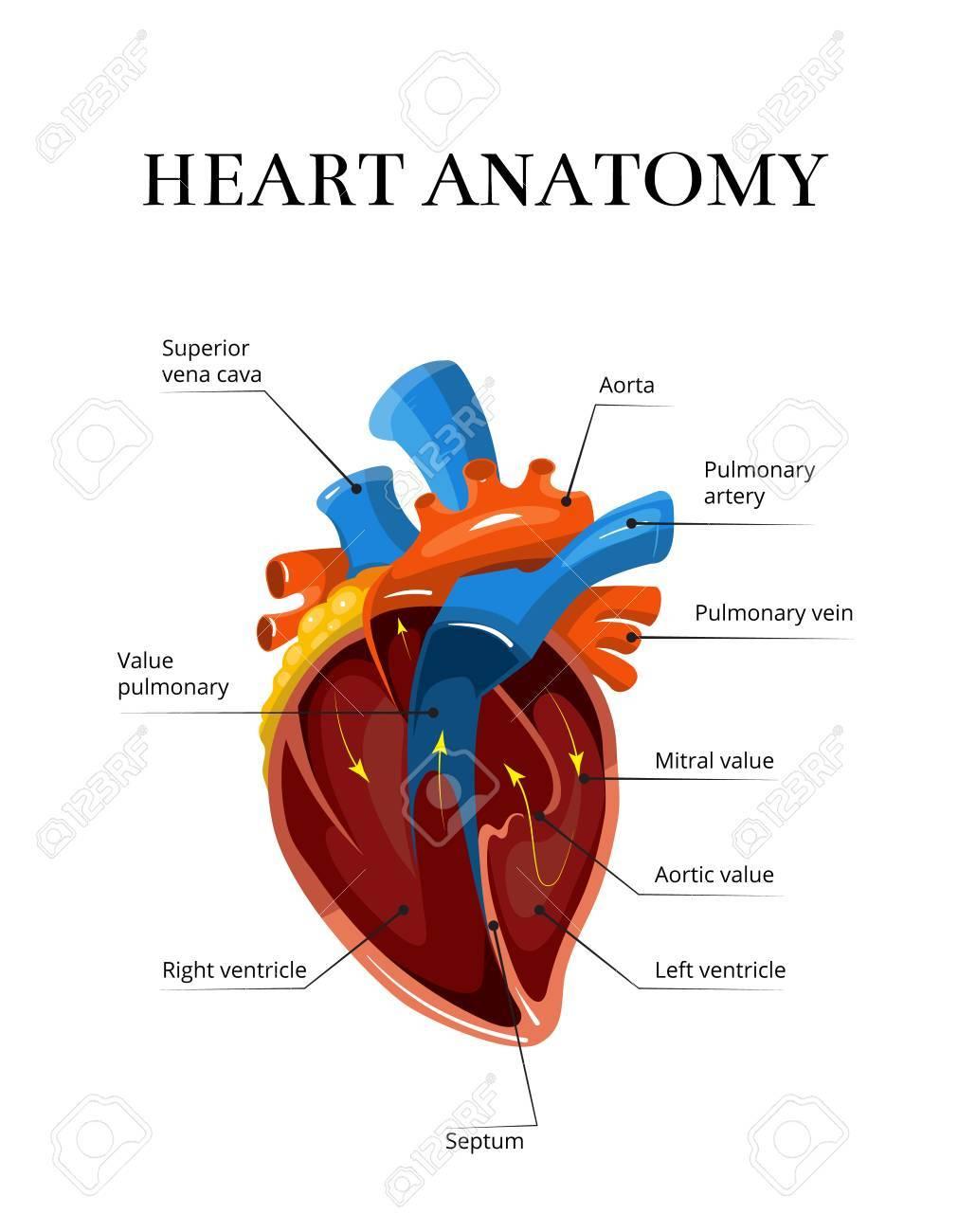 Herz Schnittsanatomie Vektor Kardiologischen Illustration ...