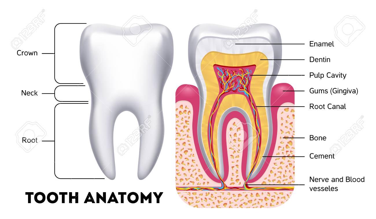 Vector De Anatomía Dental Infografía Dental. Banner Médico O ...