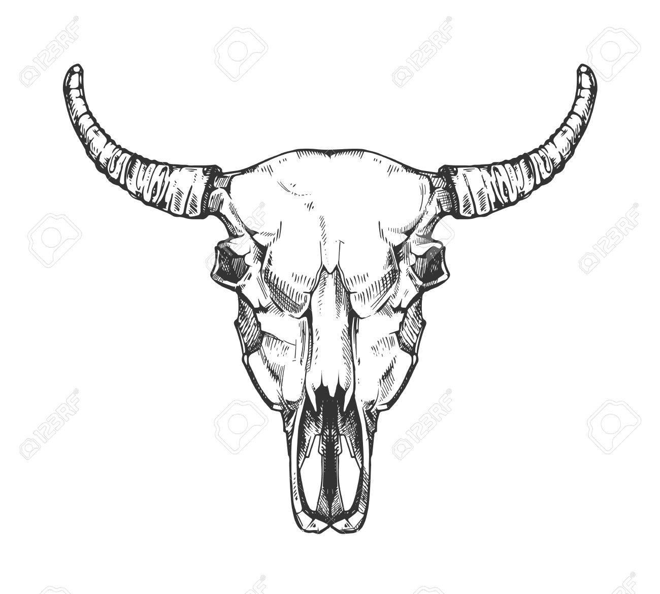 Vintage Büffel-Schädel Vektor-Skizze. Bull Tierkopf Knochen In Der ...