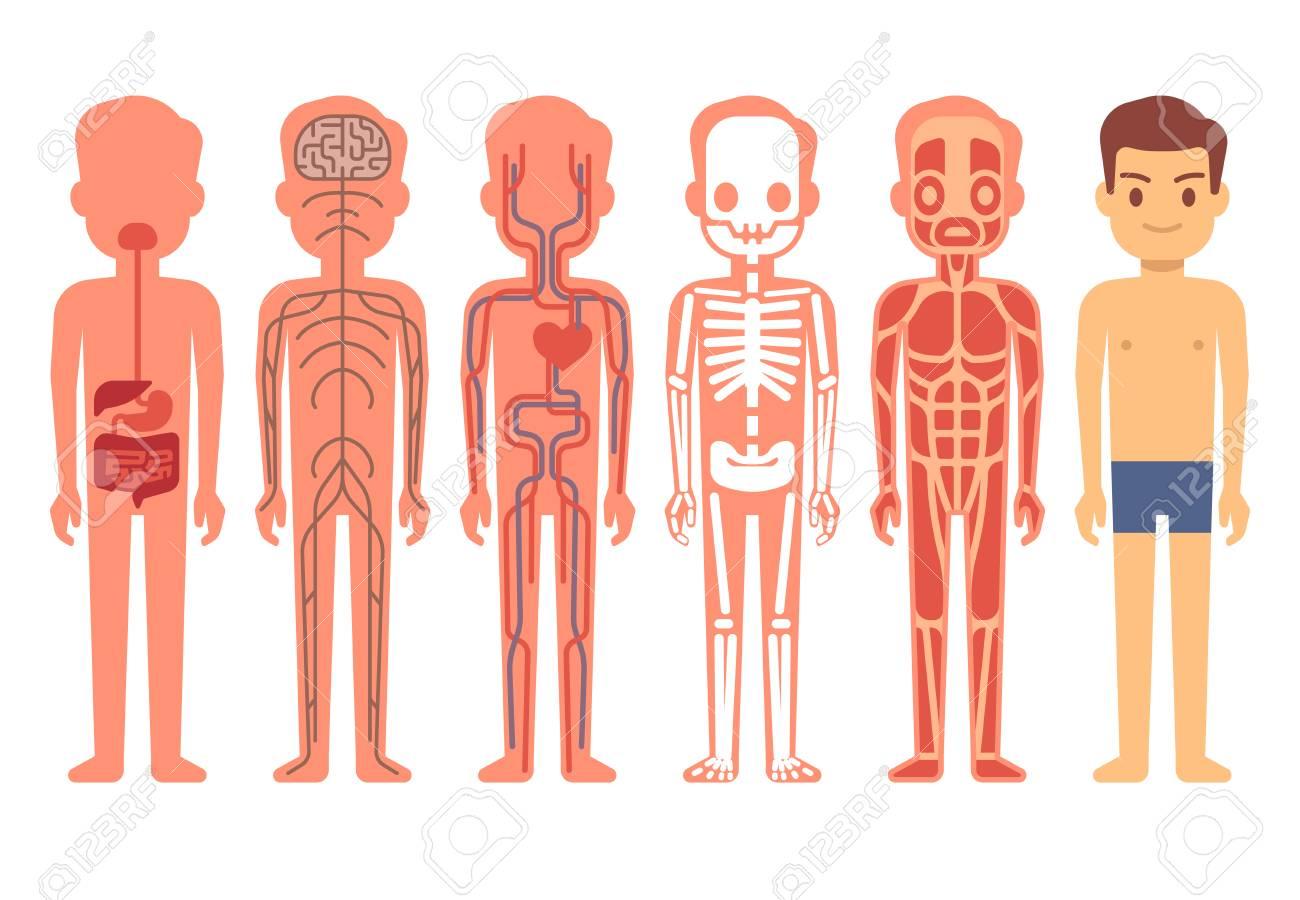 Anatomía Del Cuerpo Humano Vector. Esqueleto Masculino, Sistema ...