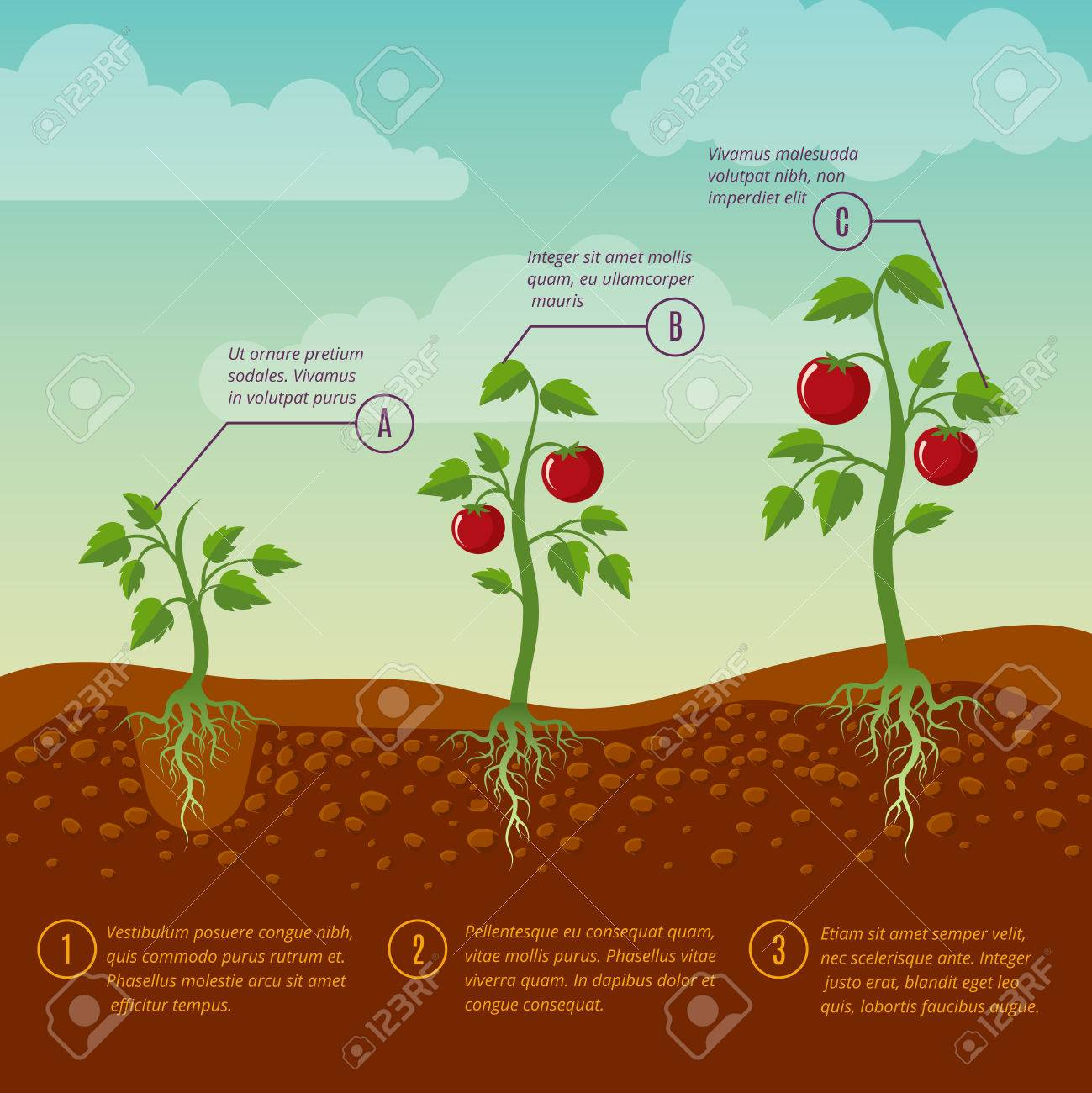 Tomatoes growth and planting stages flat vector diagram vegetable tomatoes growth and planting stages flat vector diagram vegetable growing garden illustration agriculture cultivation pooptronica Choice Image