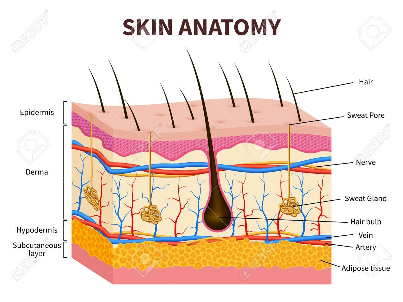 Human Skin. Layered Epidermis With Hair Follicle, Sweat And ...