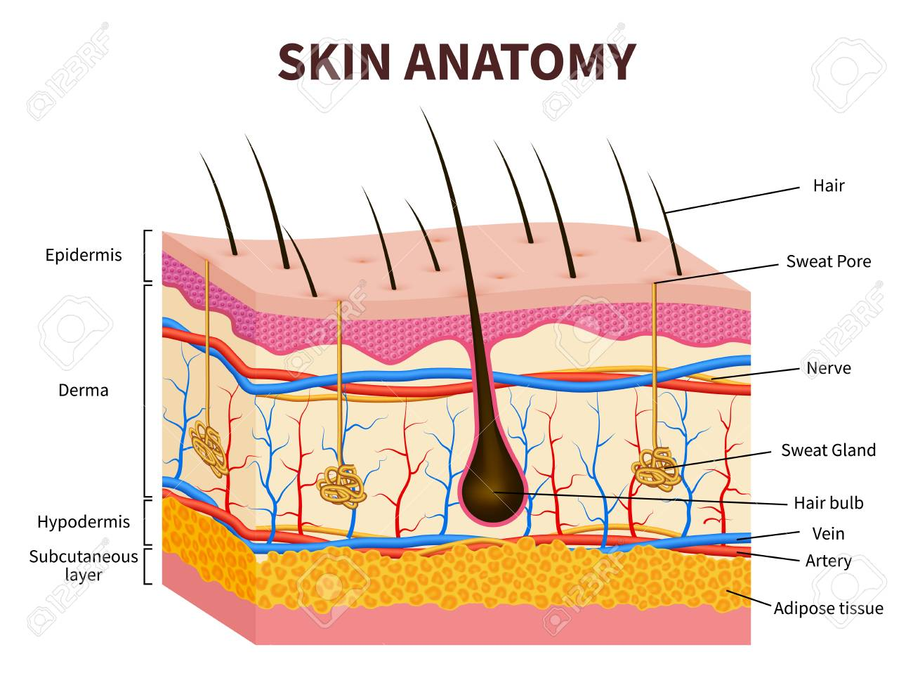 layered epidermis with hair follicle, sweat and sebaceous glands  healthy  skin