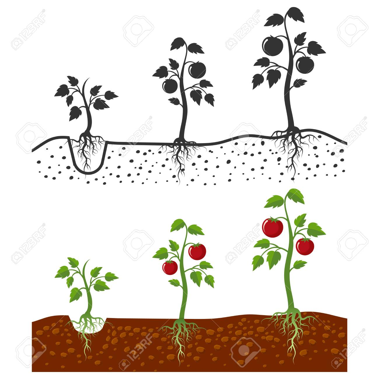 Tomato plant with roots vector growing stages - cartoon style and silhouettes of tomatoes isolated on white background. Vegetable tomato growing, agriculture sprout illustration - 111589126