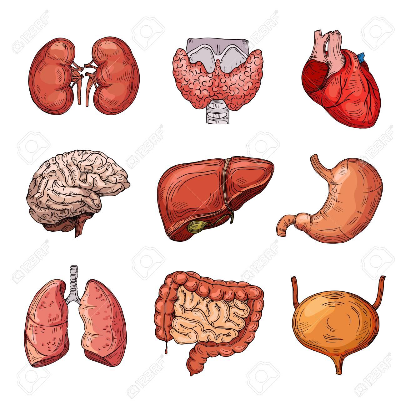 Human Internal Organs Cartoon Brain And Heart Liver And Kidneys