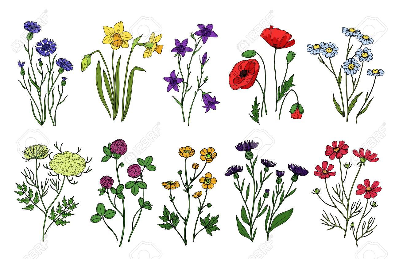 Wild Herbs And Flowers Wildflowers Meadow Plants Hand Drawn Royalty Free Cliparts Vectors And Stock Illustration Image 114631804