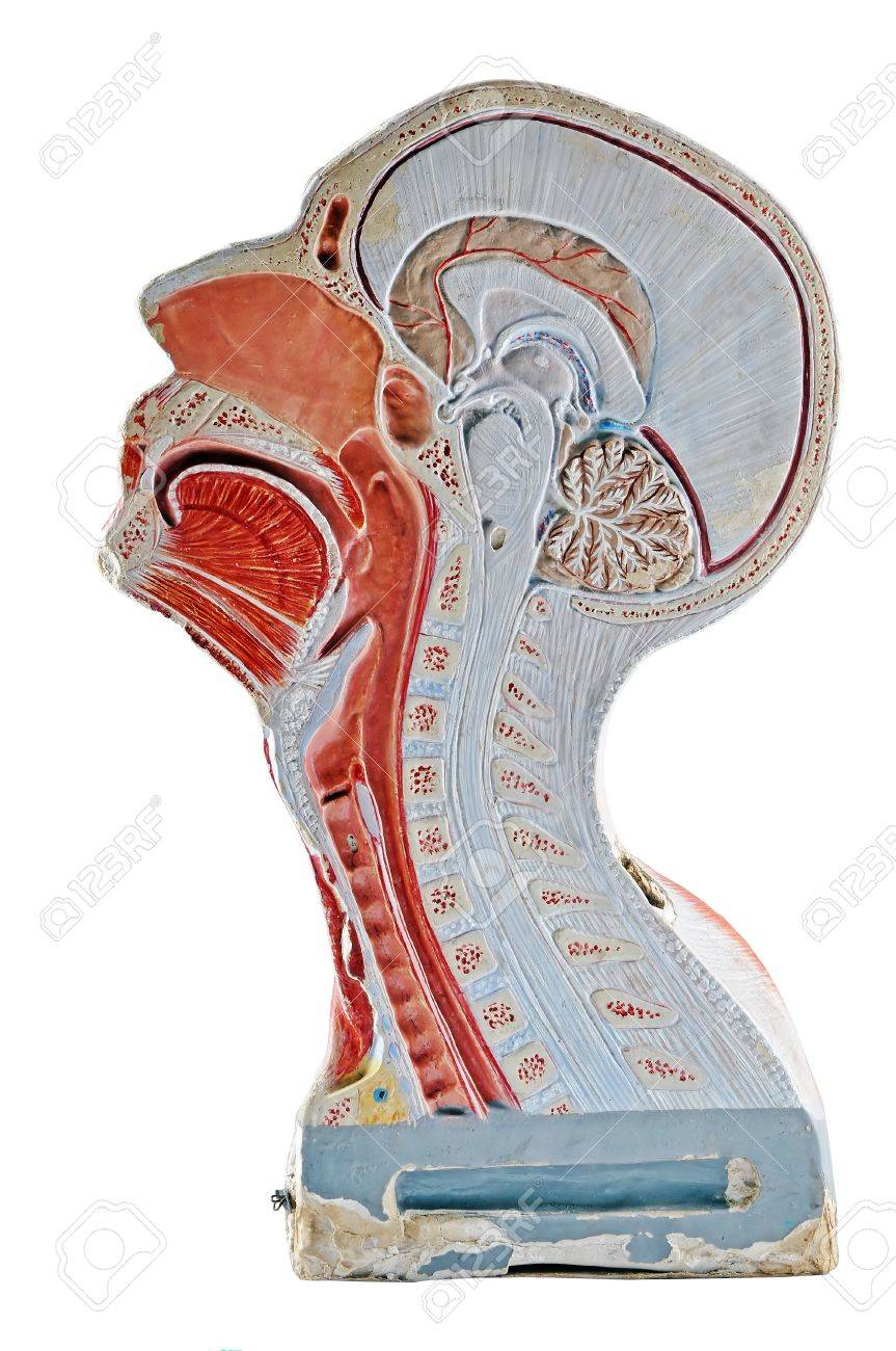 Human head/respiratory system  cross section, isolated on white background. Stock Photo - 10617579