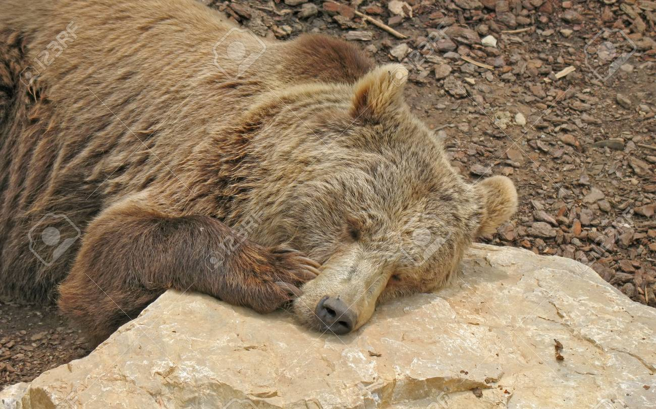 Brown bear that reposes with is head resting on the rocks Stock Photo - 13812423