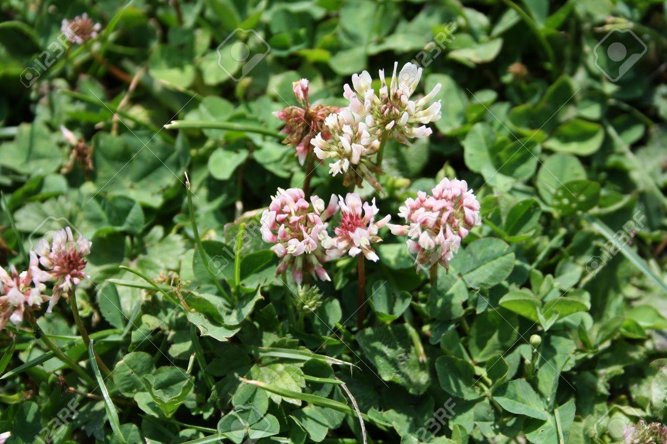 Trifolium Repens or white clover (sometimes the flowers or pink!). The leaves, which by themselves form the symbol known as shamrock, are trifoliolate. Stock Photo - 12076821