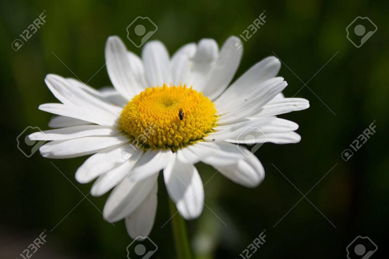 Un Bellis Perennis Communement Connu Comme Une Rose Avec Un