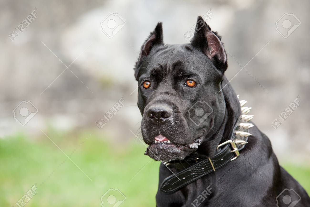 black dog on the background of a concrete wall breed cane corso