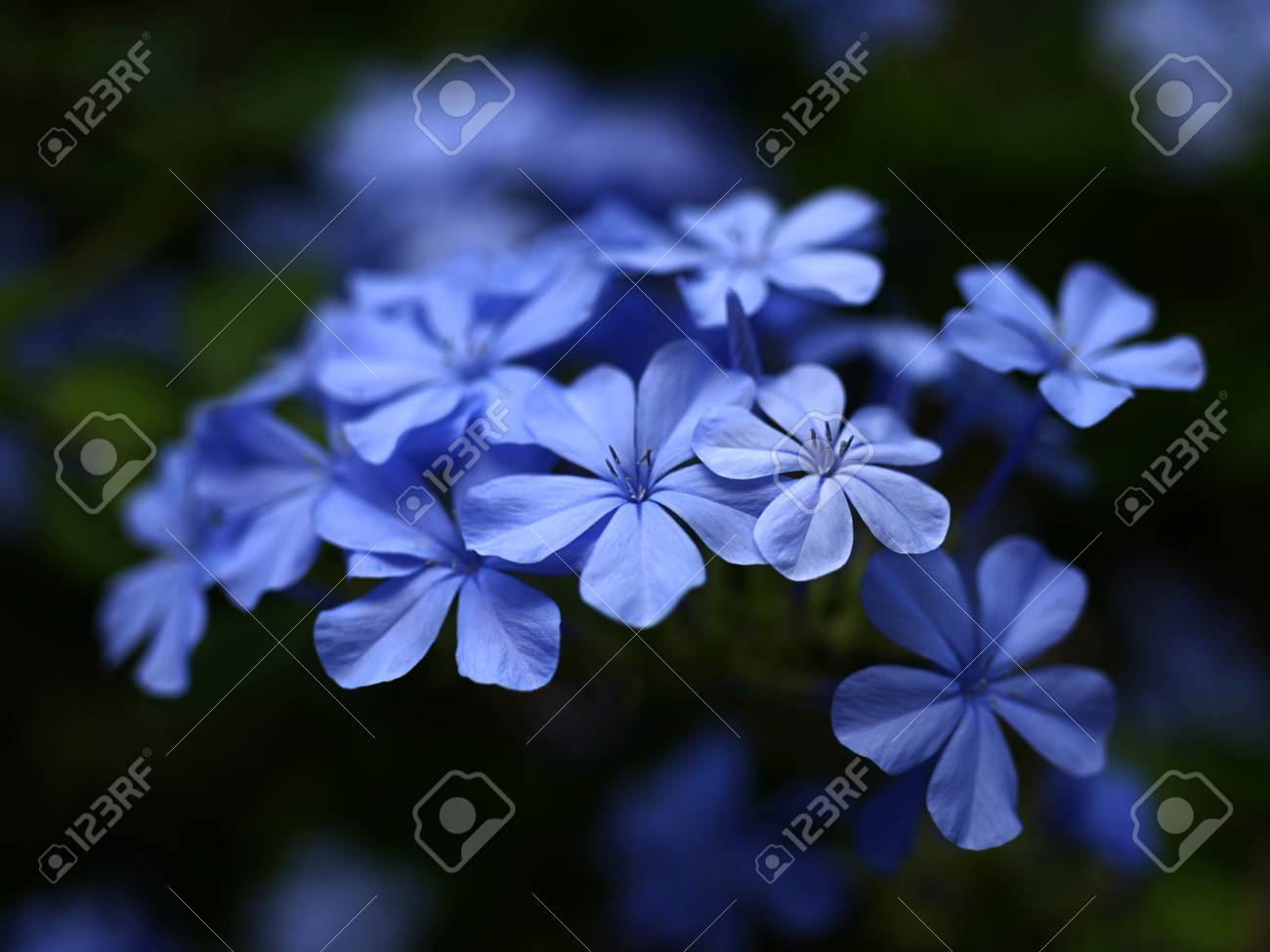 Small Blue Flowers Shallow Depth Of Field Closeup Stock Photo Picture And Royalty Free Image Image 96211661