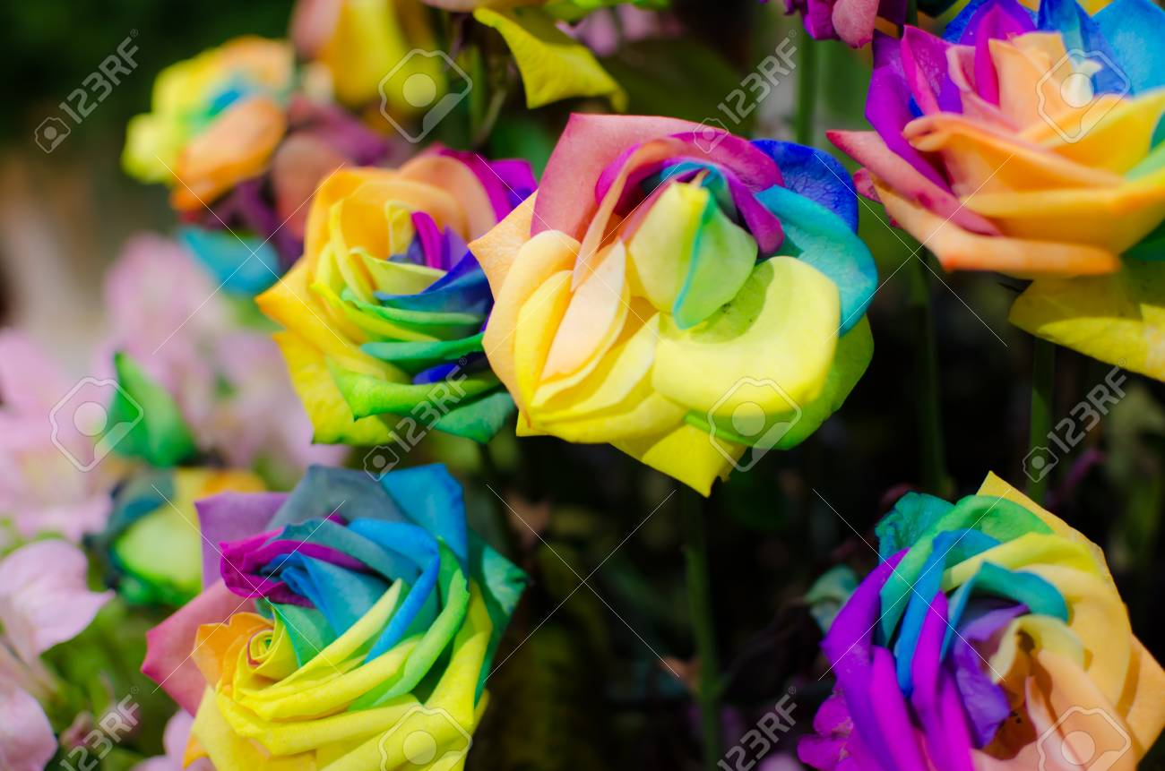Multi Colour Rose Wallpaper