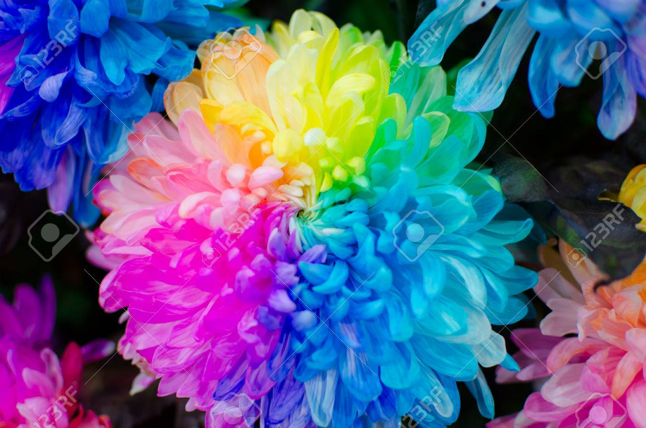 Close Up Chrysanthemum Rainbow Real Flower Can Use For Background
