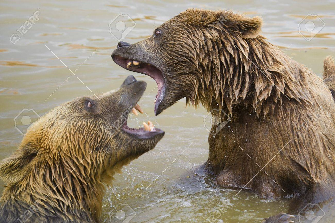 Brown Bears Fighting in the Water Stock Photo - 7650721