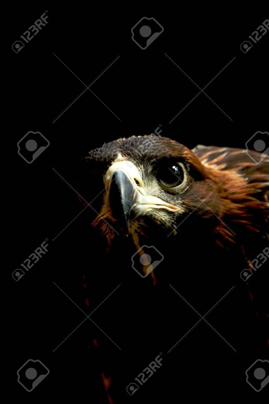golden eagle close up - 9867412