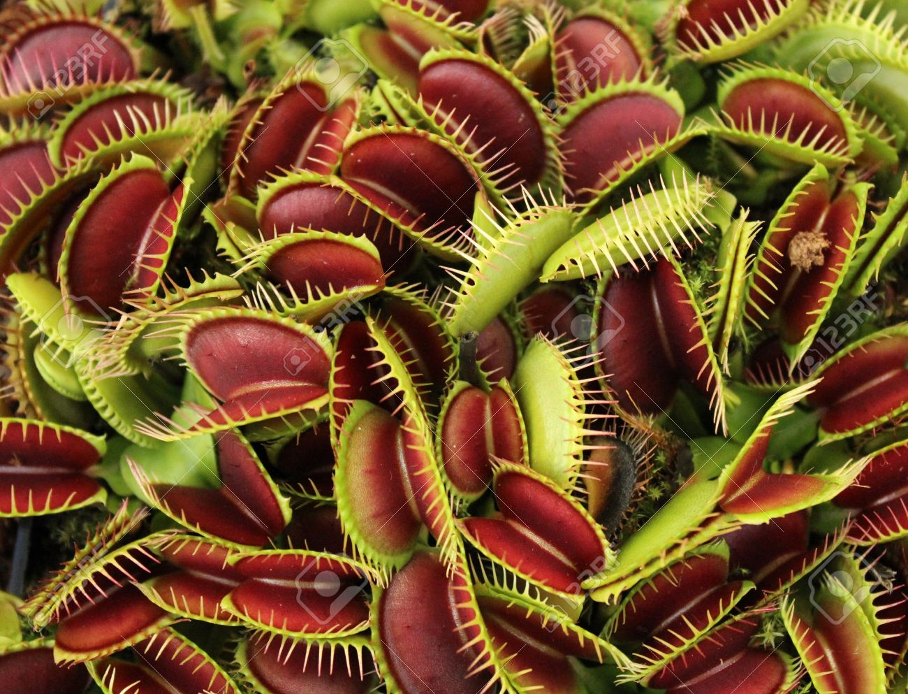 Carnivorous plant - 10671071