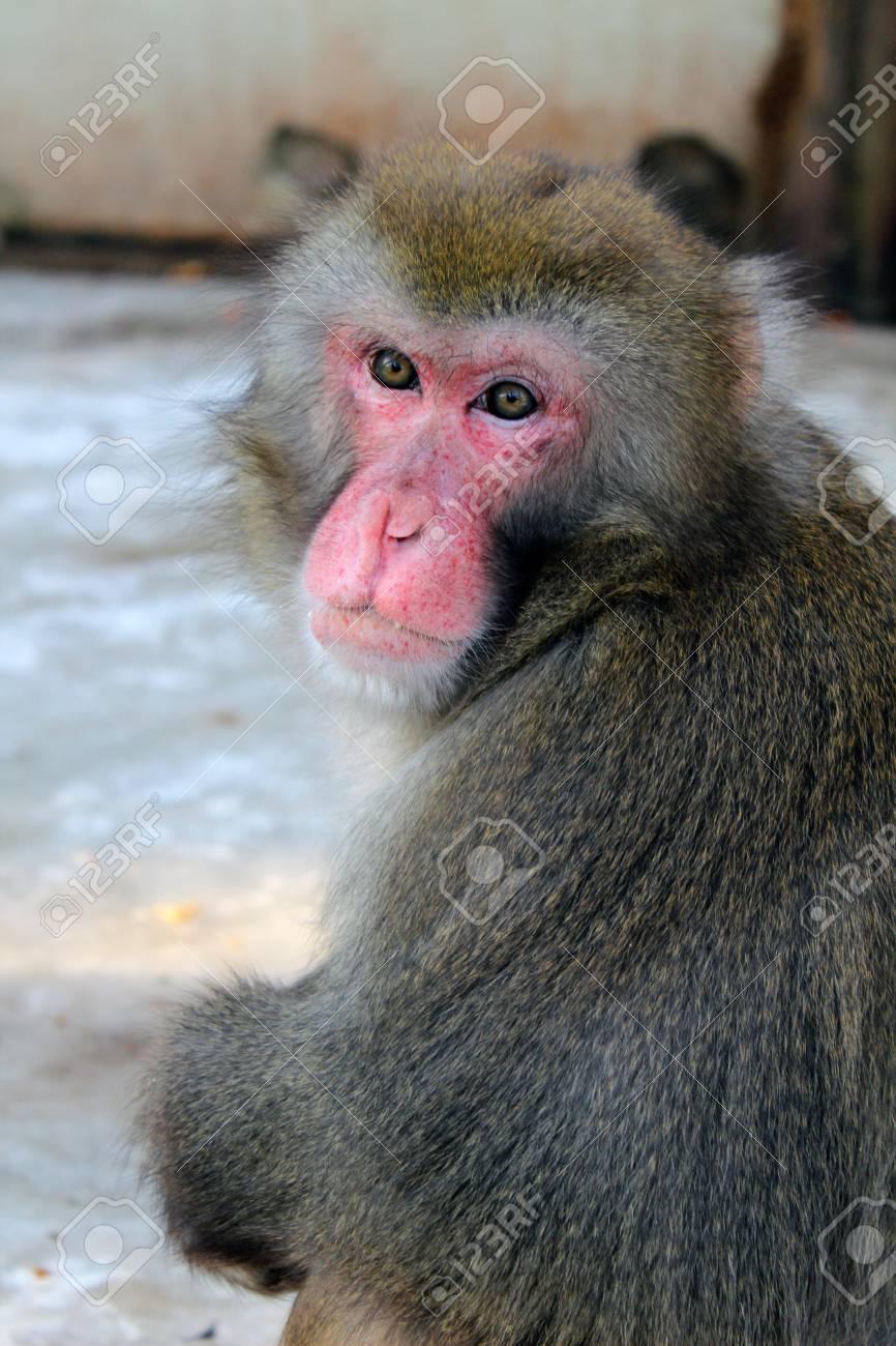 japan macaque - 12761491