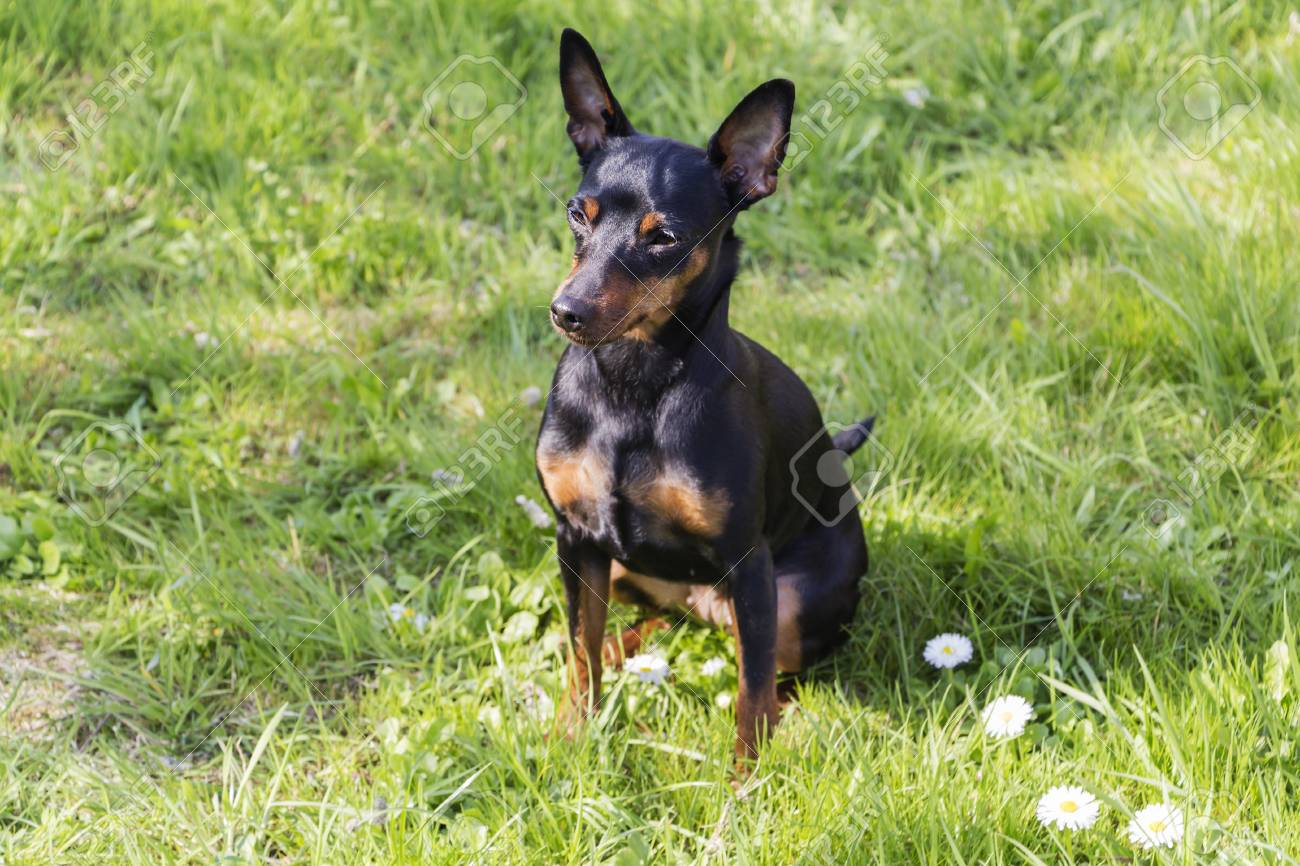 Portrait Of A Doberman Pinscher Puppy Stock Photo Picture And