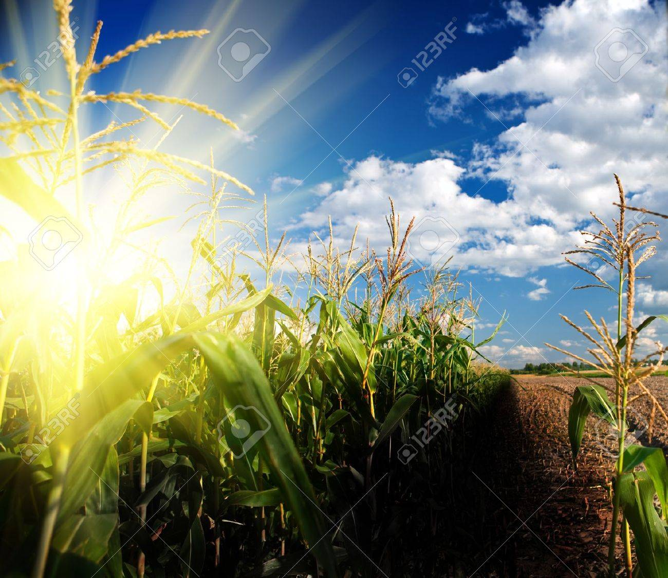 sunrise on corn field - 11474042