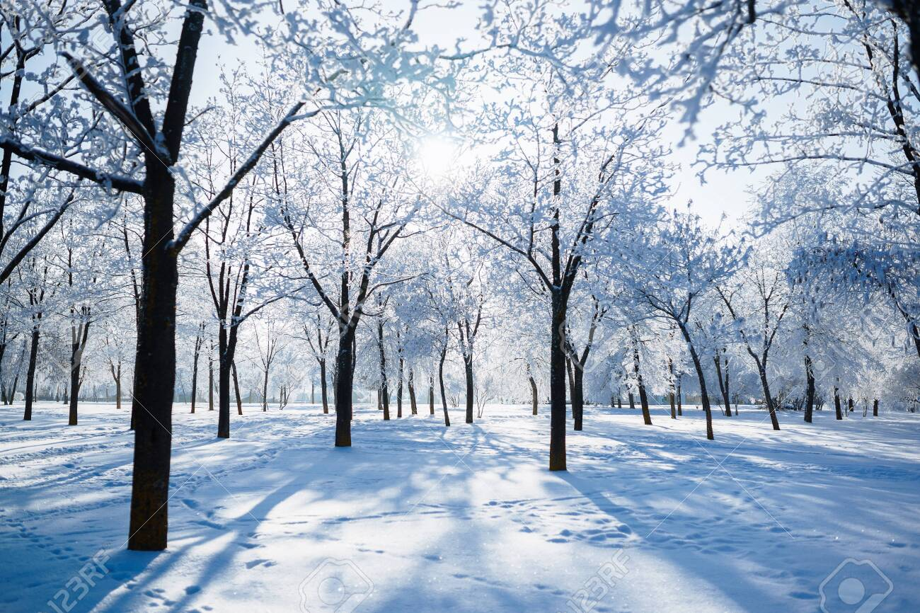 winter trees covered with frost Winter Branch - 146253632