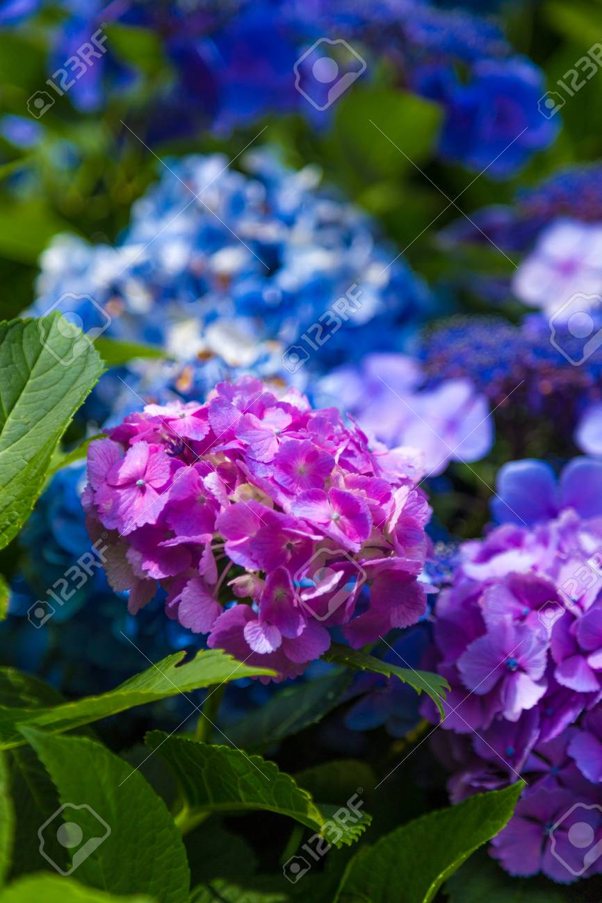 Japan Summer Flowers Hydrangeas Stock Photo Picture And Royalty