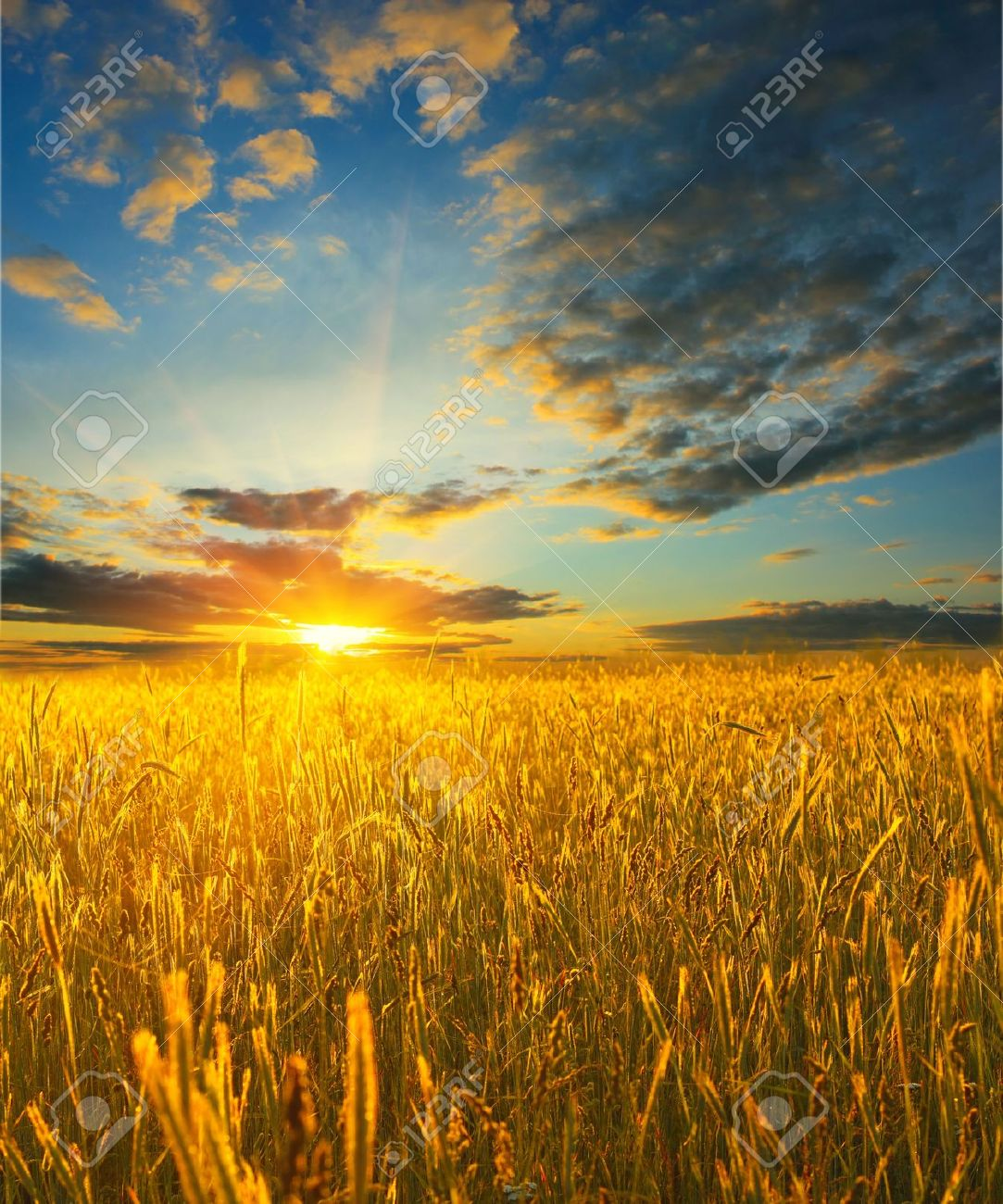 sunrise over field with wheat stock photo picture and royalty free