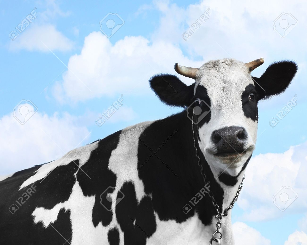 Smiling cow over blue sky background Stock Photo - 7112076