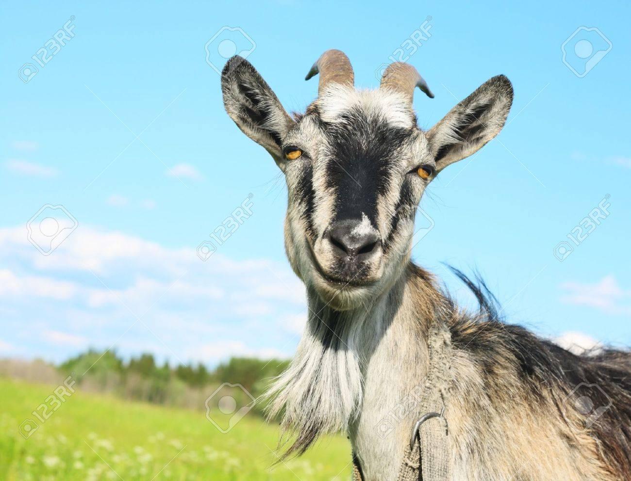Smiling goat over blue sky - 7297228