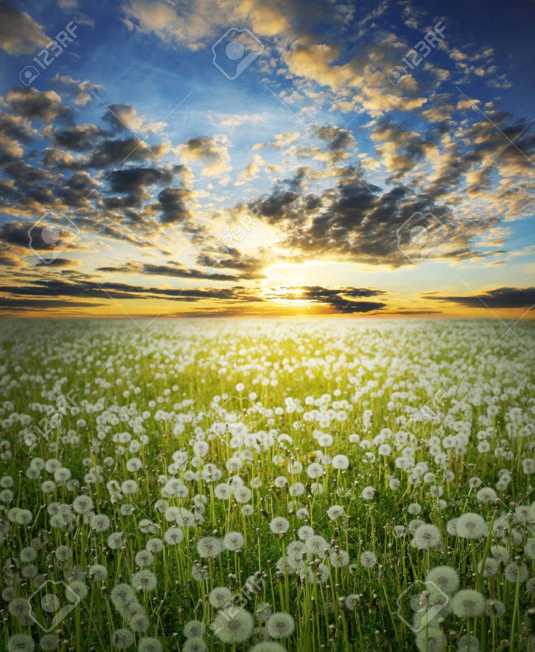Field with dandelions under sunset Stock Photo - 7585187