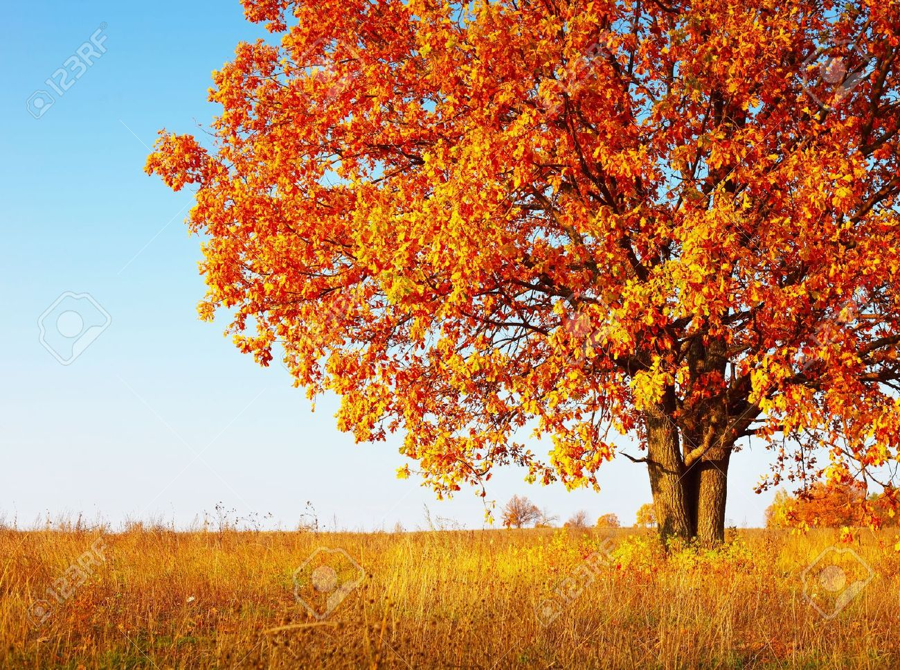 Big autumn oak tree with red leaves on a blue sky background - 11149819