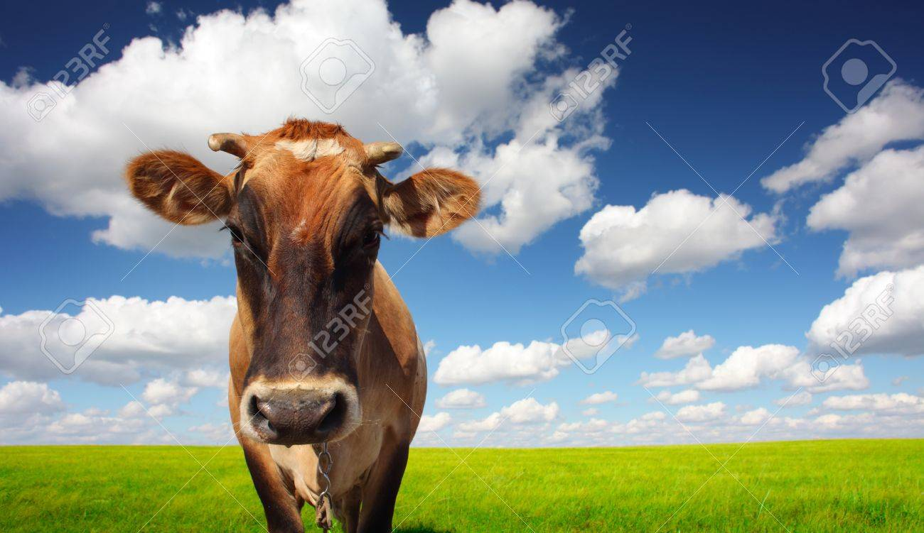 Brown cow standing on a green meadow and looking to a camera Stock Photo - 11149620