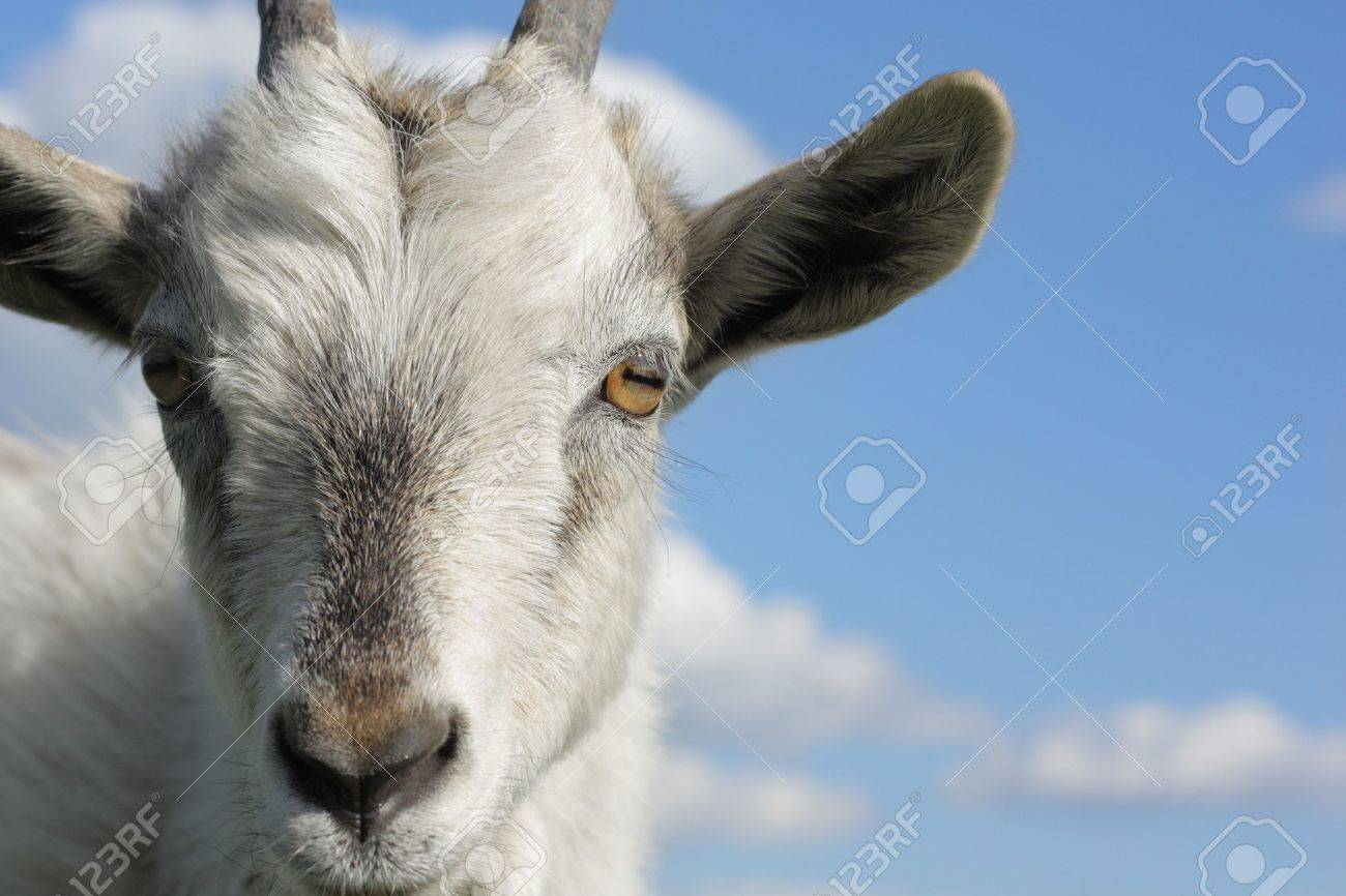 goat head stock photos royalty free goat head images and pictures