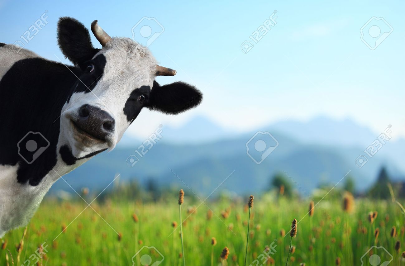 Funny cow on a green meadow looking to a camera with Alps on the background - 23508722