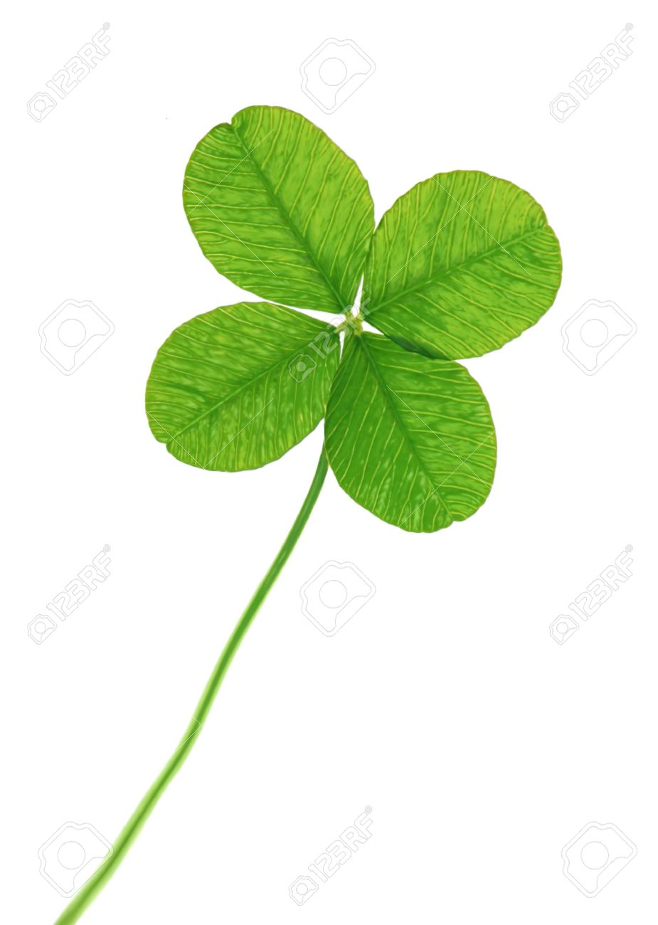 four leaf clover isolated on white background stock photo