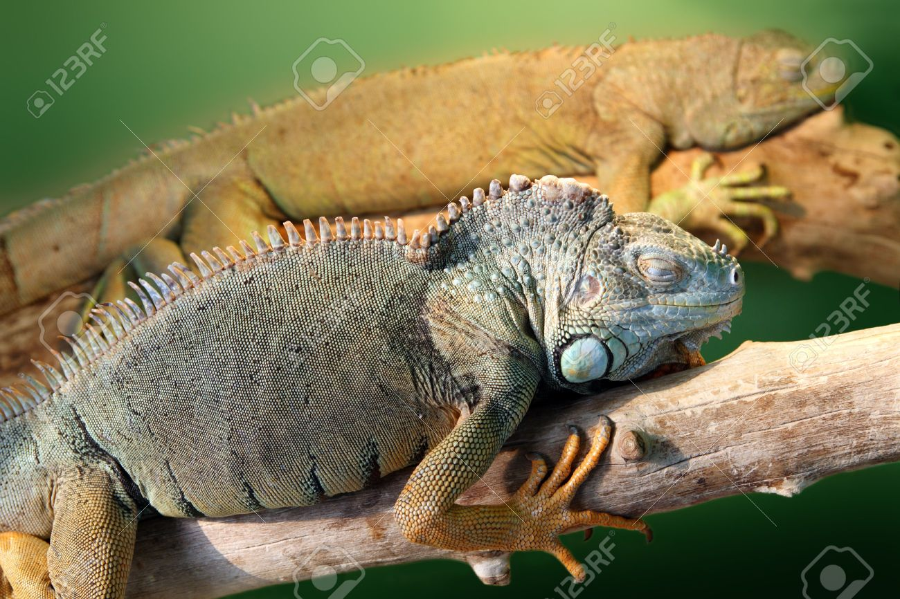 Image result for images of sleeping iguana