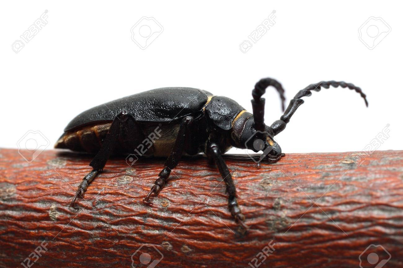 large black beetle on branch isolated on white