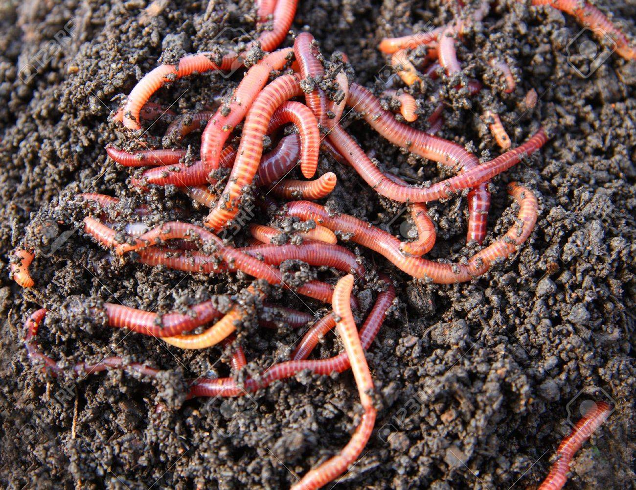 red worms in compost - bait for fishing stock photo, picture and, Fly Fishing Bait