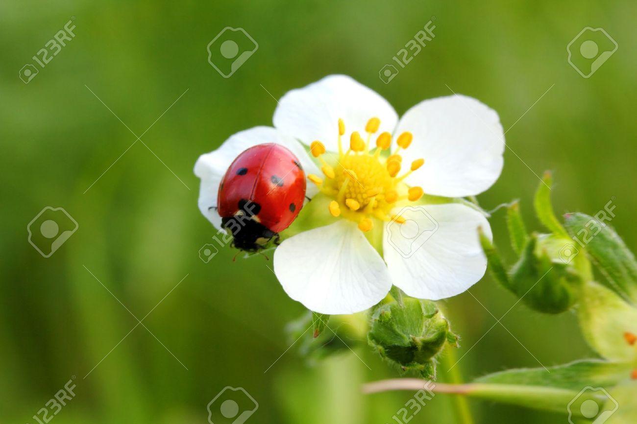 ladybug on wild strawberry flower macro - 12523241