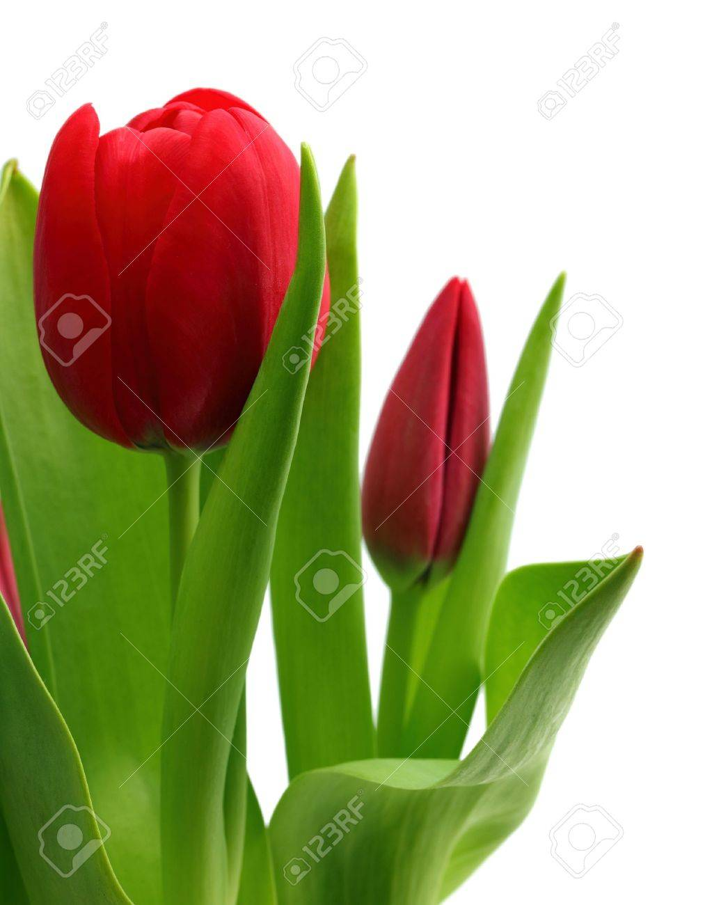 bouquet of red tulips close-up isolated on white - 12827113