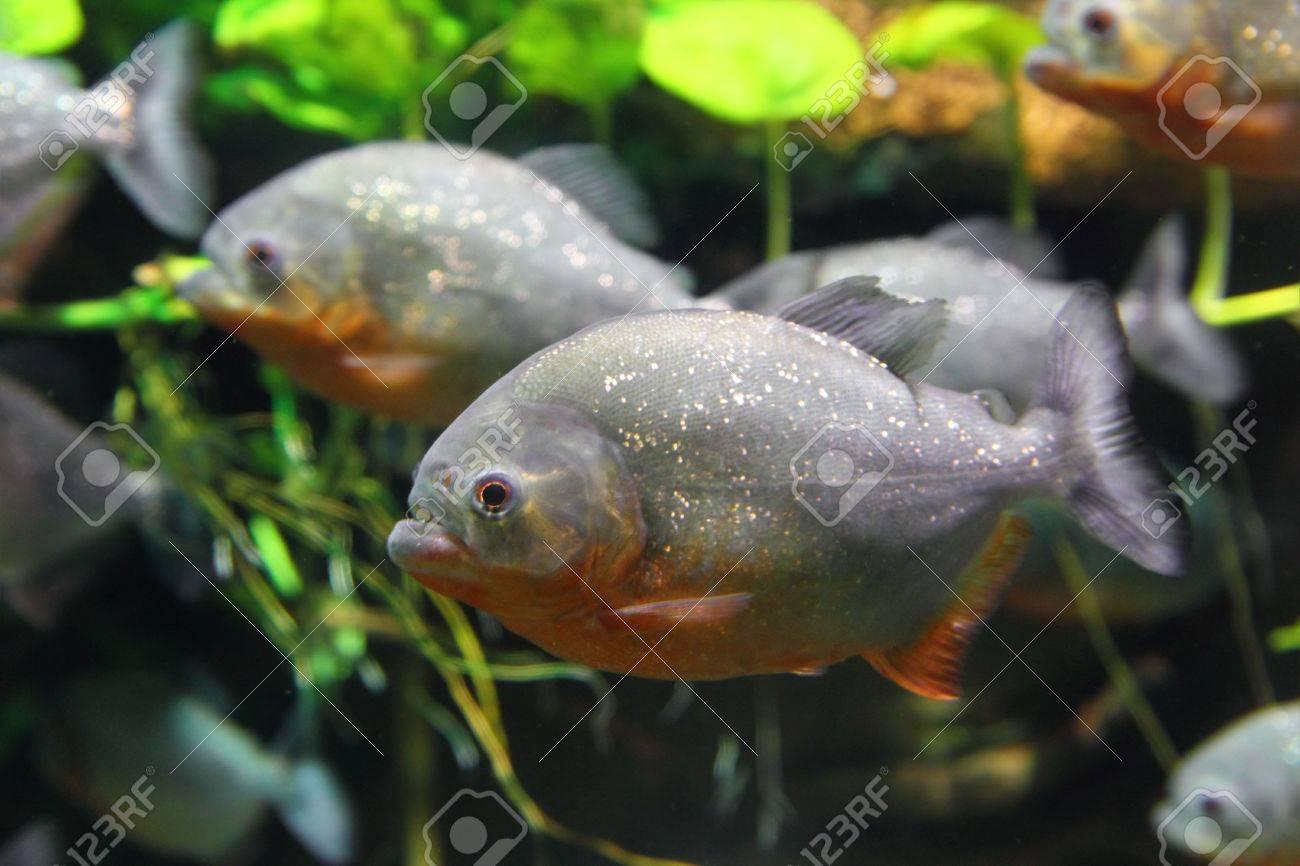 piranhas fish underwater Stock Photo - 15520578