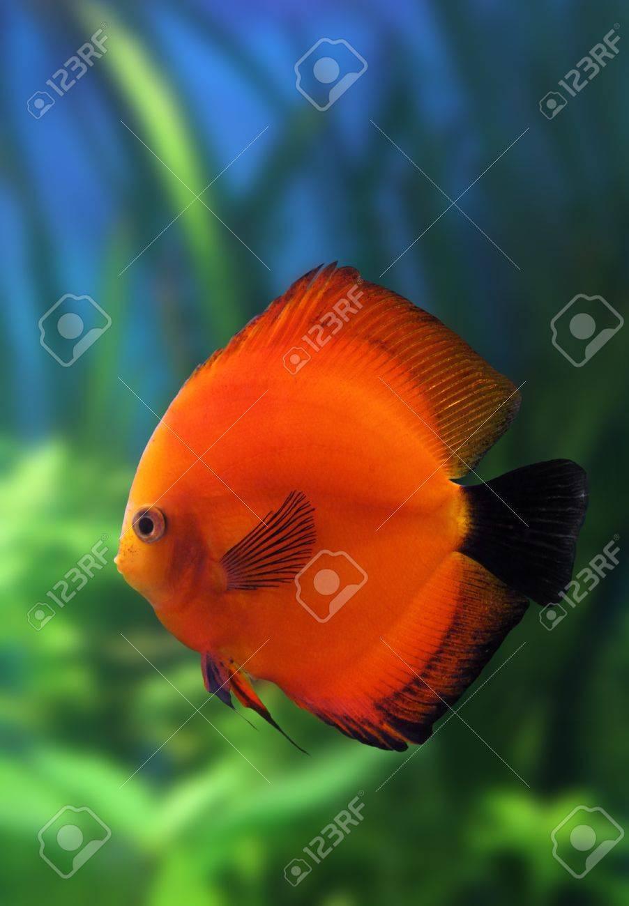 Red Discus Fish In Aquarium Underwater Stock Photo, Picture And ...