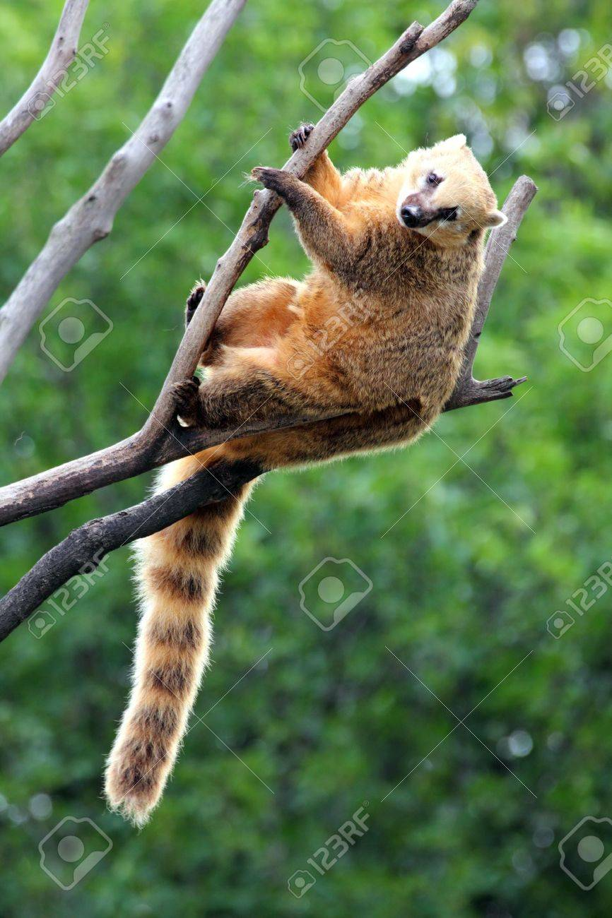 nasua coati on tree branch Stock Photo - 16038087