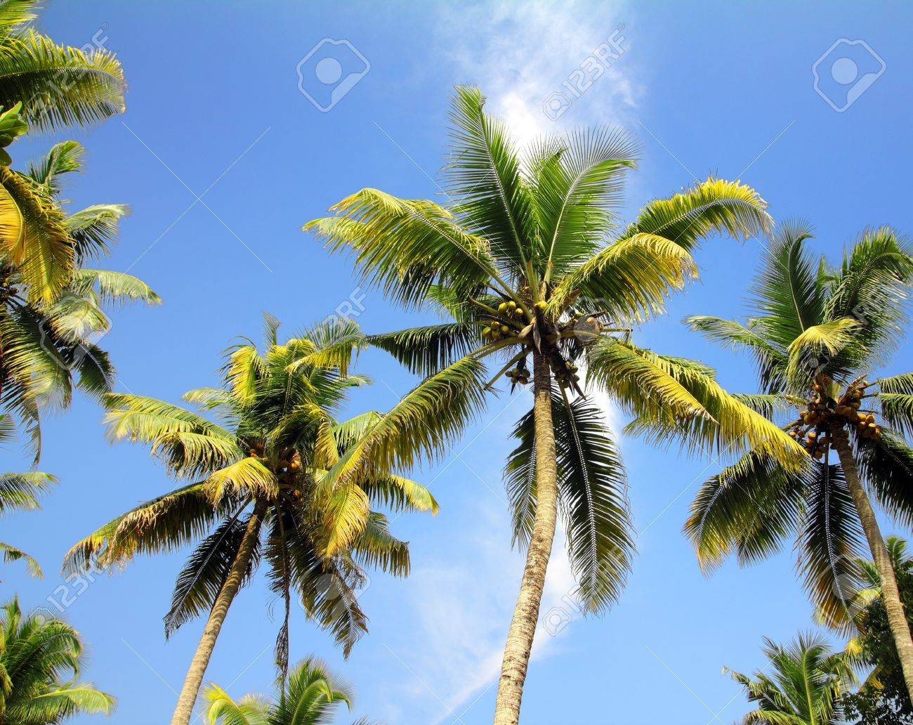 branches of coconut palms under blue sky - 19197285