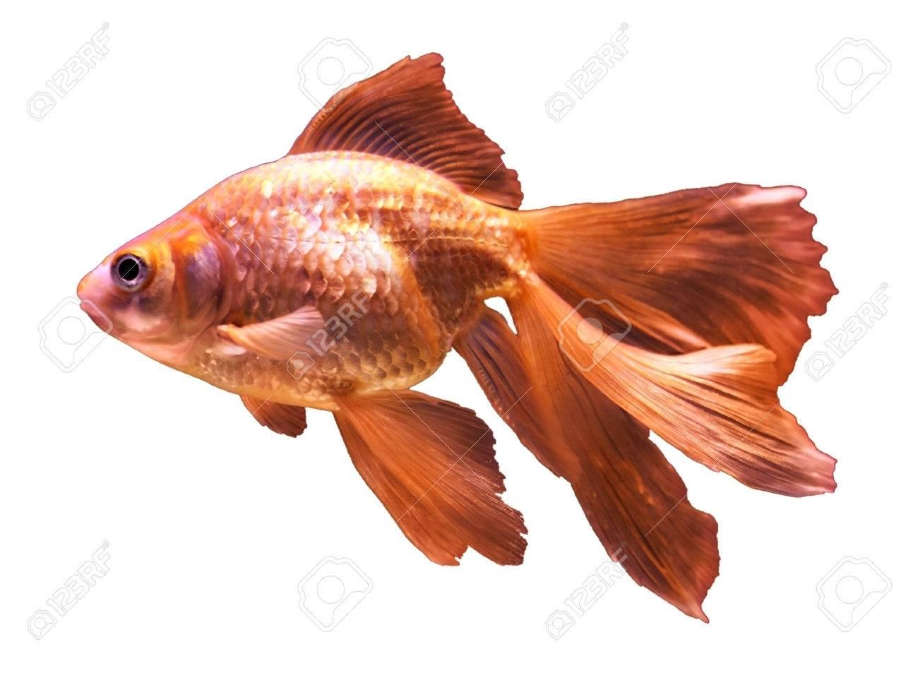 goldfish - isolated on white Stock Photo - 26005685